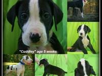 AKC Excalibur line Euro Mantle Male Great Dane puppy