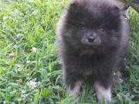 Meet Otter, an exotic AKC registered blue & tan male