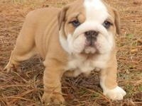 AKC Male Fawn and White English Bulldog Puppy. Ready to