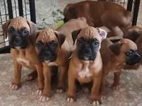 Fawn boxer children all set for new residences Could 8,