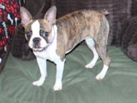 Memphis is an AKC illumination brindle & & white lady