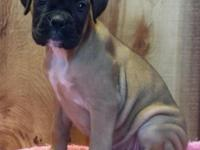 Home raised 50 % European Boxers (Russian and