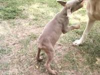 AKC Registered Fawn male Doberman Pinscher pup, approx.