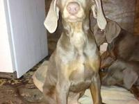 AKC Fawn Doberman puppies. Two male and two female.