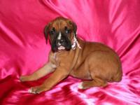 AKC Champion Bloodline Boxer, Fawn Female with Black