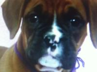 Beautiful AKC Fawn, Female Boxer. She is 10 wks. old