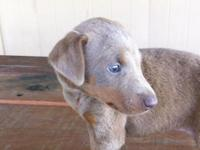 This fawn female Doberman is just gorgeous! She is full