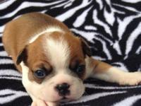 Located in Mobile, Alabama. Fawn BOSTON TERRIER female,
