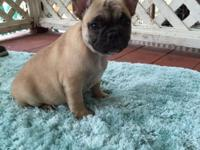 She is a cute AKC French bulldog fawn puppy she is 9