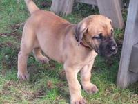 AKC Great Dane fawn female, 25% euro, and very outgoing