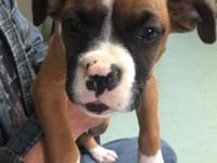 Friendly AKC fawn boxer available now. 9 weeks old. Up