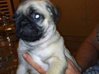 We are a pug breeder located in Southern Granville