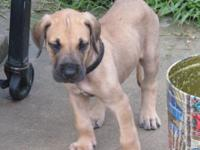 AKC Great Dane Puppies available. Both Parents and