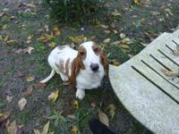 AKC BASSET HOUND FEMALE BORN 4/12/13 VERY SWEET AND