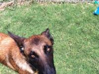 2 year old female malinios. She is very energetic and