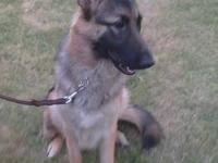 AKC black and tan german shepard female. Up to date on