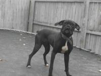 AKC Female Black Boxer, will be a year old in November.