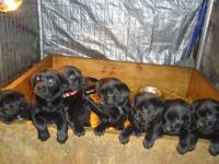 For sale 4 female AKC register-able black lab puppies