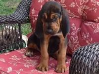AKC Female Bloodhound puppy ready for her new home. She