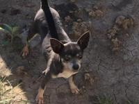 AKC blue female Chihuahua 3 yrs old. Never bred. Must