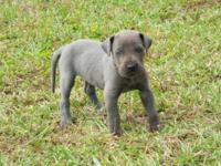 Beautiful Blue Great Dane Puppies born 10/11. 5 female