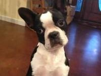 5 month old female Boston Terrier with full