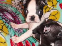 This sweet little Boston Terrier girl needs a home. She