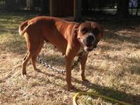 AKC Beautiful female boxer. We are looking for a good