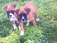 Akc registered female fawn boxer. She is very sweet and