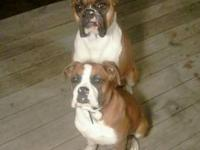 "I am going to be selling my AKC boxer pup ""Chloe""..I"