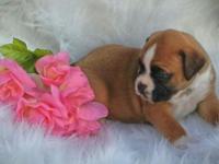 Last puppy till Spring 2015 Akc registered female