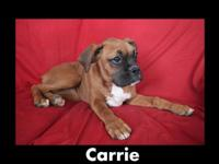 Offered is 19 week old AKC female boxer puppy. This