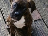 10 weeks old female boxer puppy, $700 obo.AKC