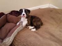 Beautiful Brindle with white markings female puppy. She