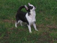 TIPPY is a stunning black and white smooth coat female.