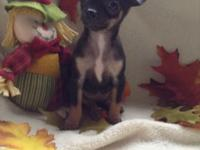 I have 3 small female chihuahuas born 9/8/14.