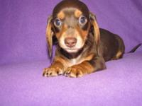Ready Now, 8 week old AKC Dachshund Female Chocolate &