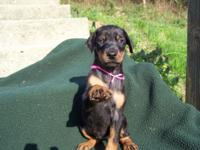 AKC reg. black and rust female doberman pinscher young