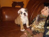 Akc female beautiful english bulldog.10 week
