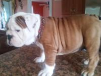 She is Akc Female english bulldog.beautiful wrinkle and
