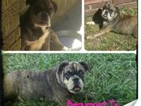 I have a female akc english bulldog for sale Sprite is
