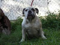 I am selling Beautiful. AKC FEMALE ENGLISH BULLDOG .