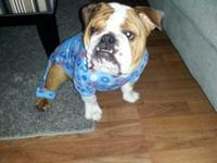 2.5 year old Female English Bulldog. GREAT with kids