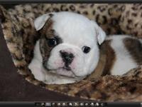 Absolutely stunning litter of AKC English Bulldogs. All