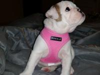 Stunning brindle akc english bulldog young puppy. She
