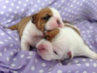 Lovely English Bulldog puppies up for adoption. Born