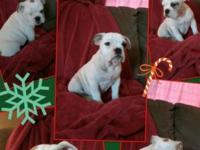 14 week old female English bulldog puppies. They are