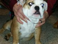 Akc female English bulldog. 4 months old. Comes with