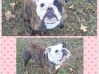 2 YOUNG ADULT FEMALE BULLDOGS Akc reg. Brindle and