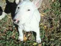 I HAVE A GORGEOUS FEMALE MINIATURE BULL TERRIER. SHE IS